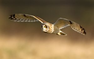 On a mission - Short-eared Owl by Jamie-MacArthur