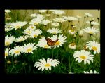 Butterfly by photographer-amymay