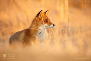 Red Fox in Red Light by thrumyeye