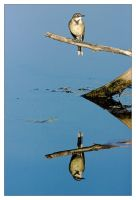 Cape Wagtail Reflection by MrStickman