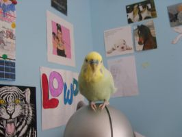 The Budgie by evilness-2008