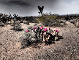 A Bloom : in the desert by ClymberPaddler
