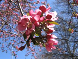 pink crab apple flowers 04 by CotyStock