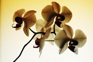 angry orchids by right-angle