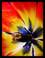 Inside a Tulip by inacom