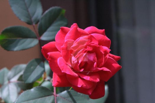 Every Rose Has Its Thorn by such-a-cynic