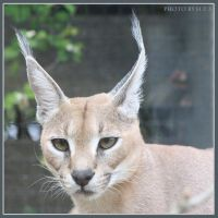 Caracal 10 by Globaludodesign