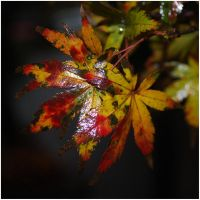 Leura Leaves. by Ackriff