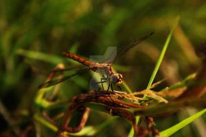 Dragonfly Perch by Kaptured-by-Kirsty