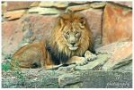 In the eye of the lion by TlCphotography730