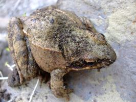 Frog by KTVL-resources