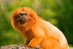 Golden Lion Tamarind by JakeSpain