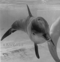 BW Bottlenose Dolphin Photo by annlo13