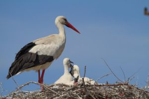 stork and offspring by Autiwa