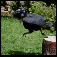 Abyssinian ground Hornbill by kittykitty5150