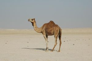 Camel 2 by Jezhawk-stock