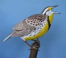EASTERN MEADOWLARK 11 by Bagheera3