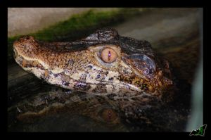 Reflection of a Caiman by Wild-Soul