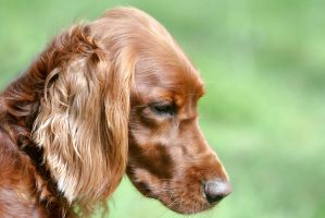 Hunde-lIrish Setter looking Down Profile by LuDa-Stock