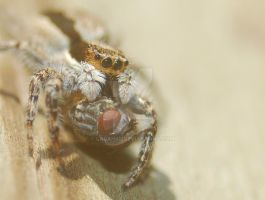 Jumping Spider and Fly by Larah88