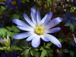 ANEMONE BLANDA 1 (PRINTEMPS 2013 1) by BELLESYMPHORINE