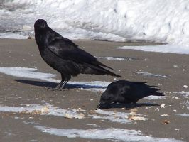 I think raven is contemplating eating crow. by Cainamoon