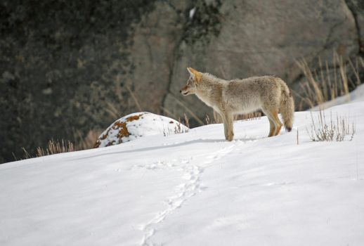 coyote in winter 3 by wildfotog