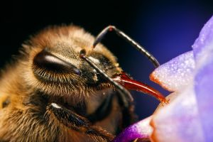 Honeybee Proboscis by dalantech