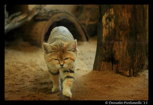 Sand Cat by TVD-Photography