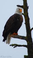 Bald Eagle by jesseboy000