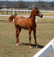 GE Arab filly chestnut stand side view by Chunga-Stock