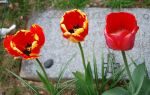 Fancy Tulips at a Grave by FlowerFreak
