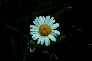 Daisy At Dusk by designerfied