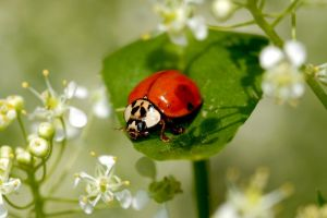 Coccinelle 5 by Metalfire77
