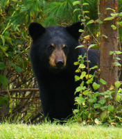 Young Bear by TearsofEndearment