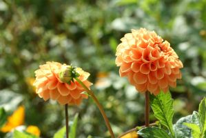 awesome dahlias 5 by ingeline-art