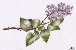 Lilacs by Paivatar