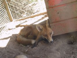 Red Fox 14 by FoxRAGE-Stock