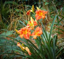 Daylillies by MikeVines