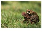 Mating Frog by br3w0k