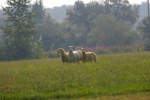 Sheep 3 by Silver-she-wolf-14