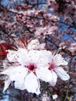 beautiful plum tree by campbell16
