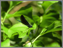 Green and black damselfly by Mogrianne