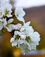 Cherry Blossoms by Lambieb123