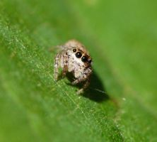 Salticidae...very small by duggiehoo