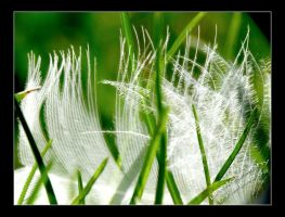 Feather by albatros1