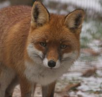 red fox by jedediah667