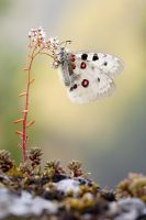 Parnassius apollo by MartinAmm