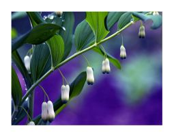 Solomon's seal by Bodghia