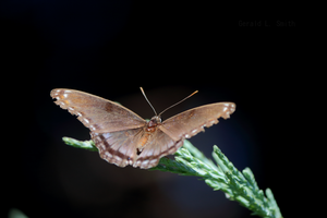 Red-spotted Purple 1 by Gerryanimator